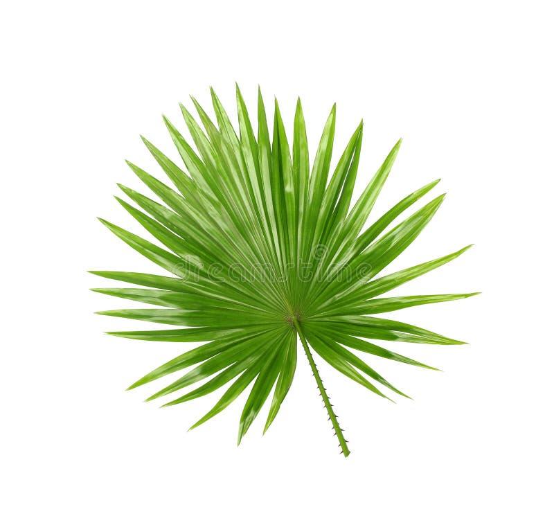 后侧方;在白色隔绝的棕榈树绿色叶子 免版税图库摄影