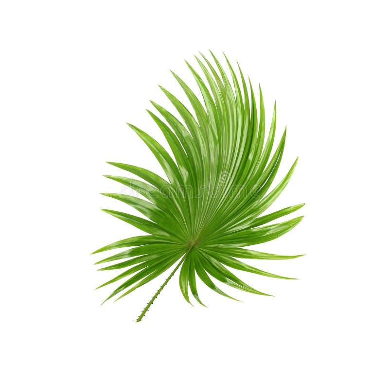 后侧方;棕榈树绿色叶子  免版税库存图片