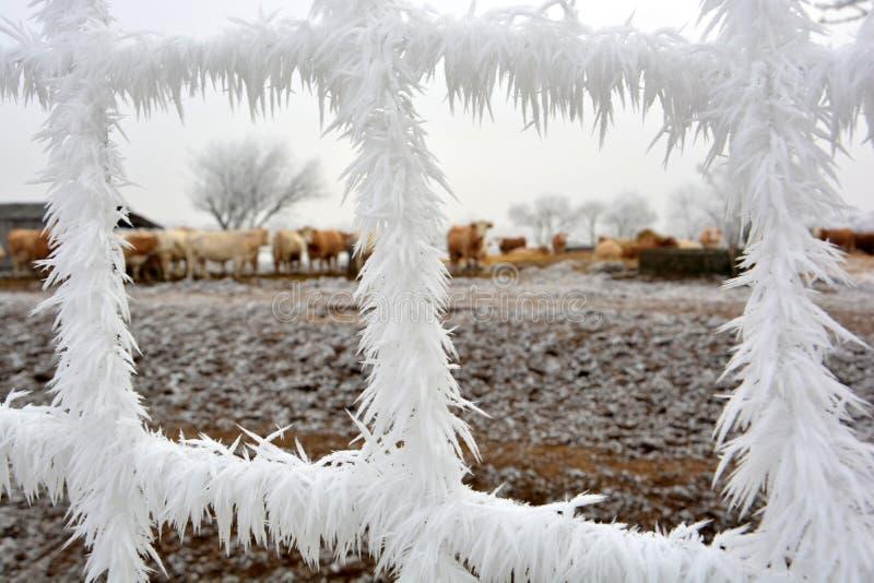 后边冰冷的篱芭和母牛 库存图片