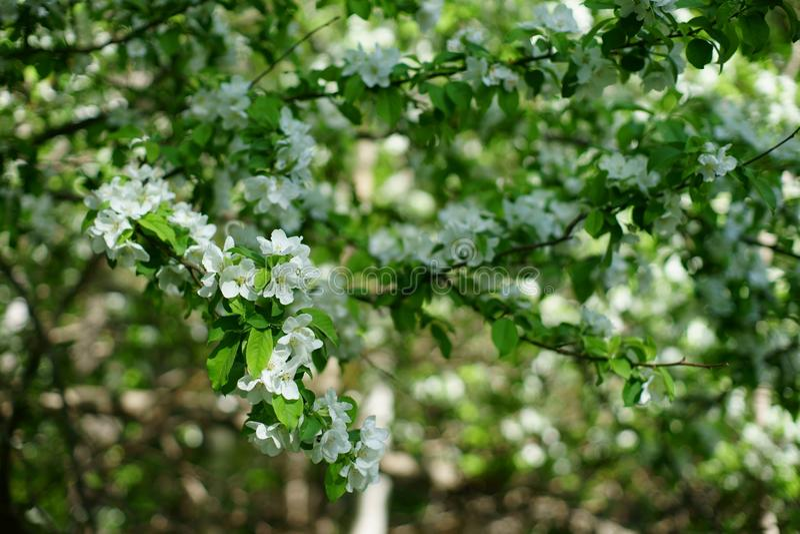 后雪白苹果开花在春天 库存照片