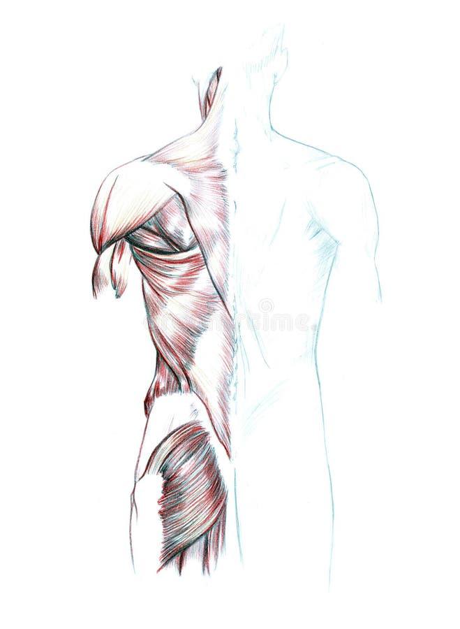 后面、肩膀和屁股的肌肉 皇族释放例证