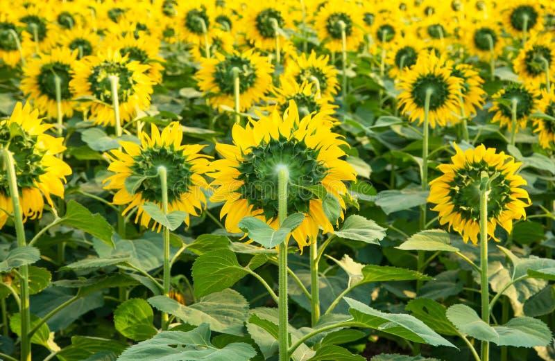 后面向日葵看法在庭院公园 库存照片
