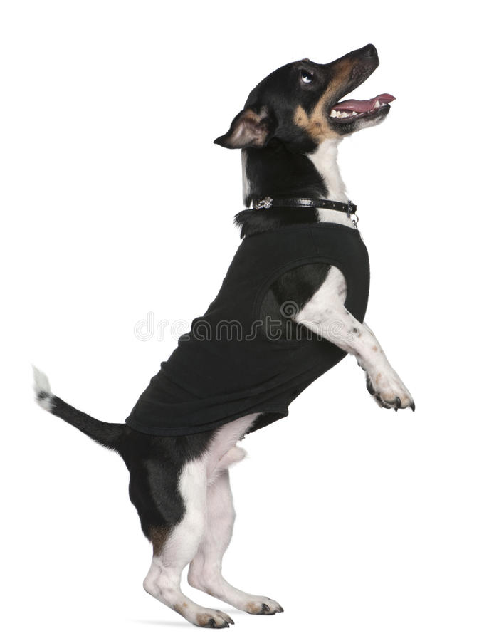 后面插孔行程罗素常设狗 免版税库存照片