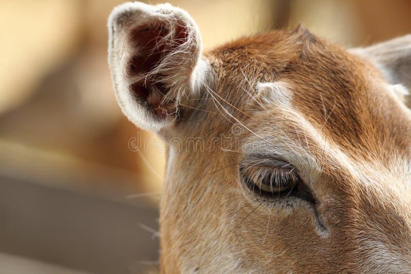 后面的小鹿,眼睛细节特写镜头  库存照片