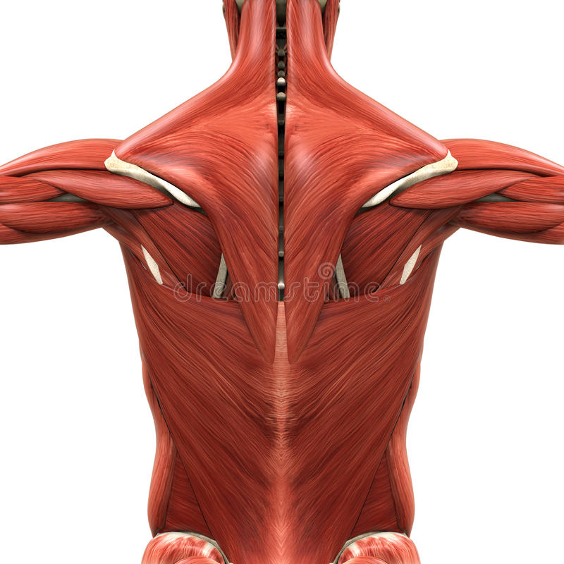 后面的肌肉解剖学 库存例证