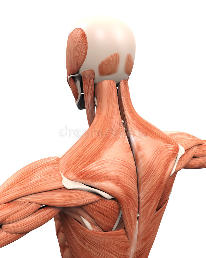 后面的肌肉解剖学 向量例证