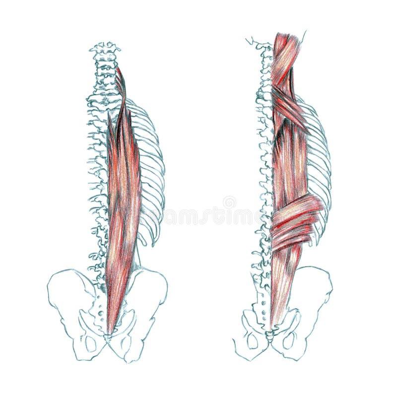 后面的肌肉 向量例证