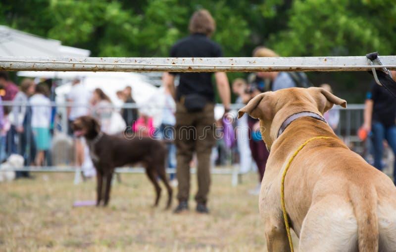 后面观点的参与在狗展示竞争中的狗观看的狗和人 免版税库存图片