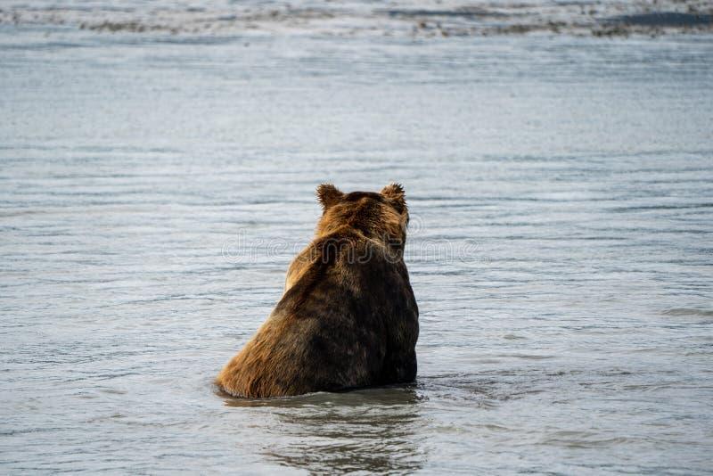 后面观点的阿拉斯加的沿海棕色北美灰熊在水中坐作为他钓鱼fo 库存图片