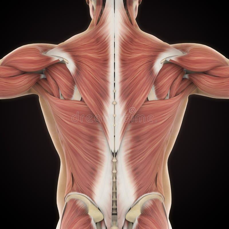 后面解剖学的肌肉 皇族释放例证