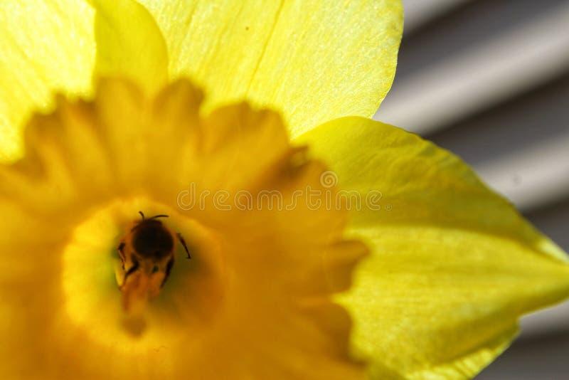 后面黄色的蜂 免版税库存照片
