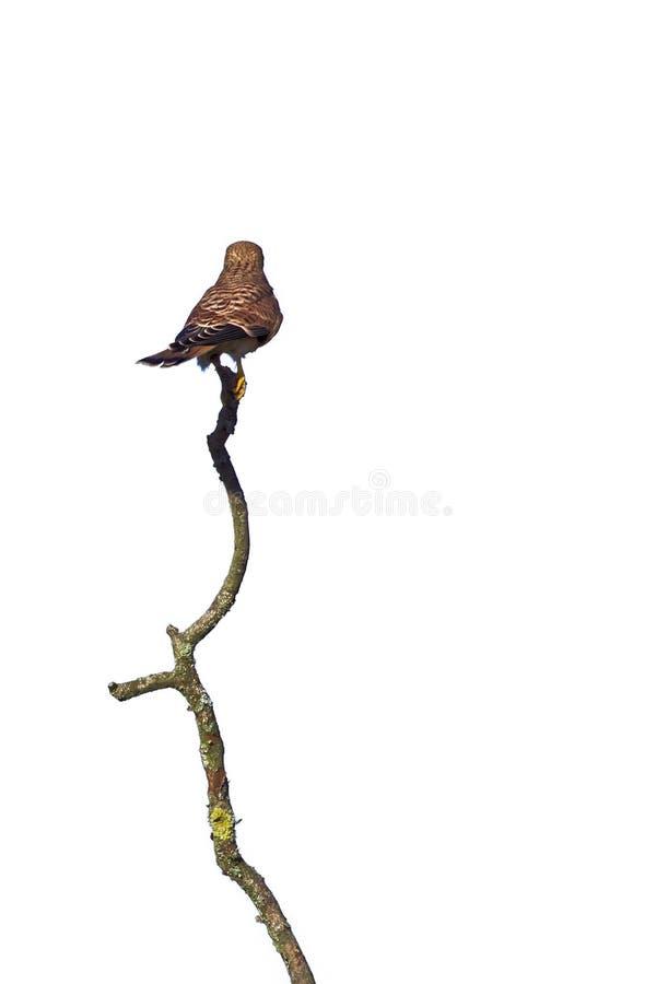 从后面(游隼科tinnunculus)看见的共同的茶隼在白色 免版税库存照片