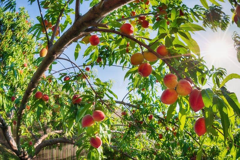 向上看法桃子果子成熟在树 库存照片