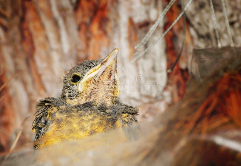 向上看的幼鸟 库存图片