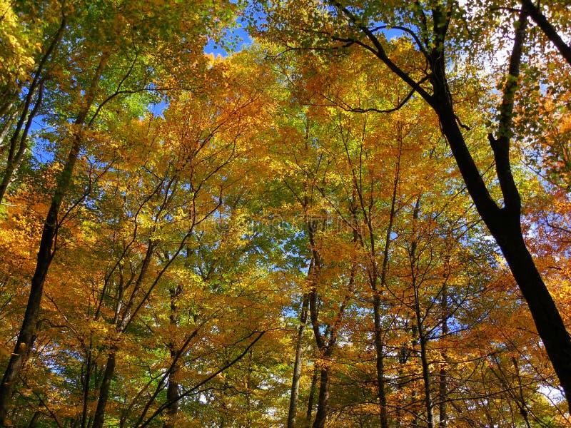 向上看黄色和橙色秋天的树木天棚 免版税图库摄影