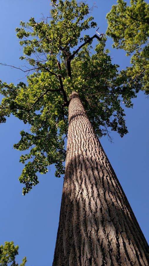 向上观看高大的树木绿色叶子和树干用蓝天背景 免版税图库摄影