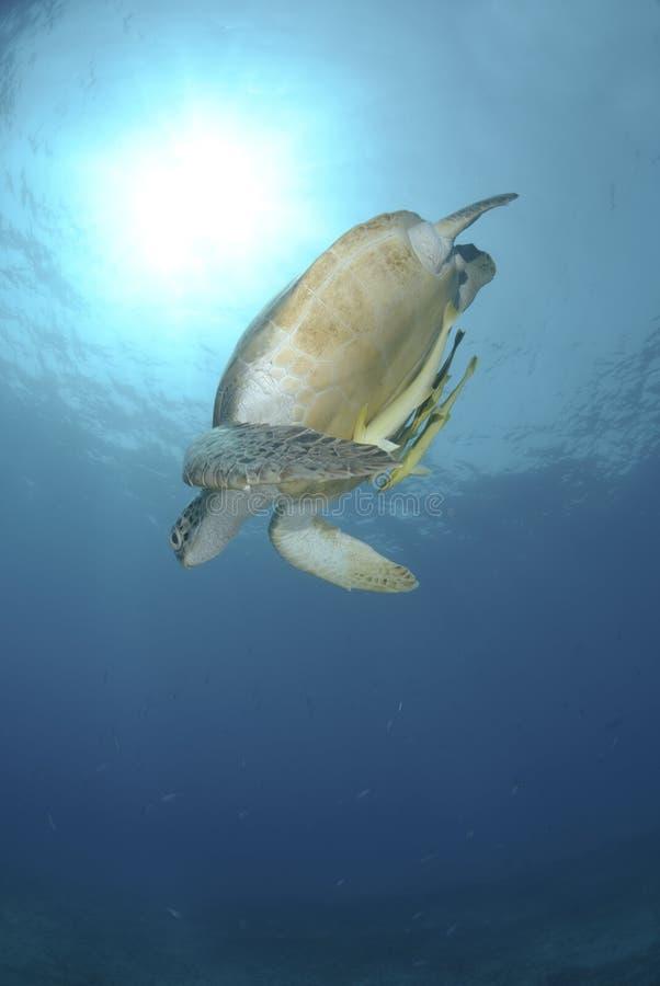 向下绿浪游泳乌龟 免版税库存图片