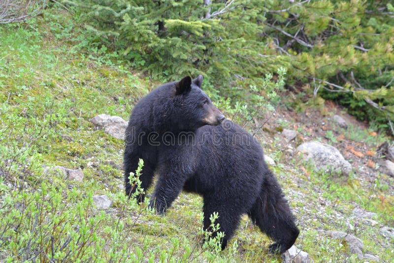 向后看美国的黑熊 免版税库存图片