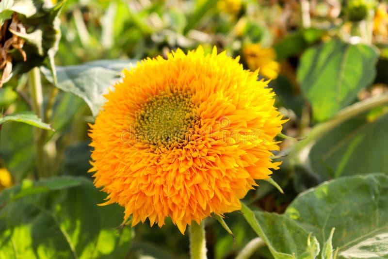 向日葵关闭的黄色花 一个年轻向日葵的宏观射击 图库摄影