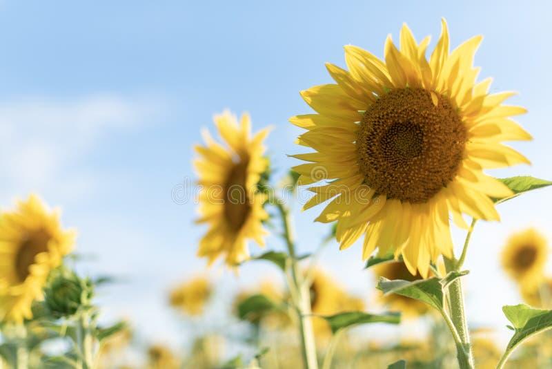 向日葵关闭 美丽的向日葵的背景调遣 在多云天空蔚蓝和太阳的明亮的向日葵领域 免版税库存图片