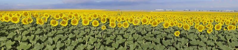 向日葵农场,科罗拉多 免版税库存图片