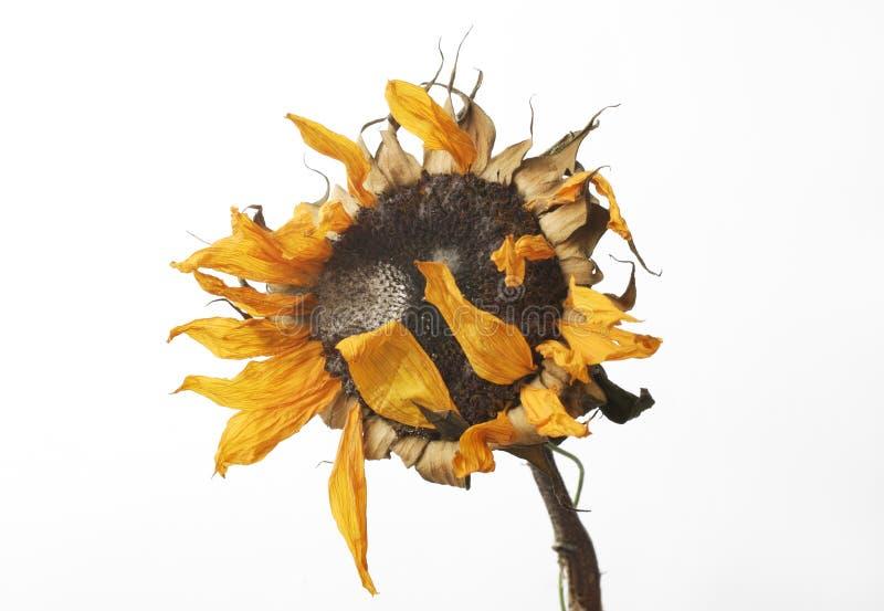 向日葵凋枯了 库存图片