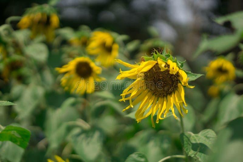向日葵凋枯在白天 库存照片