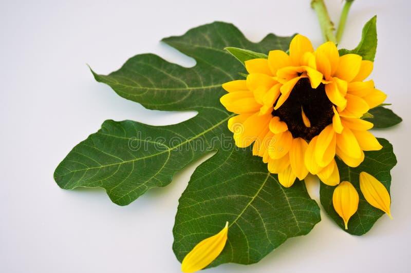 向日葵和叶子 免版税库存图片