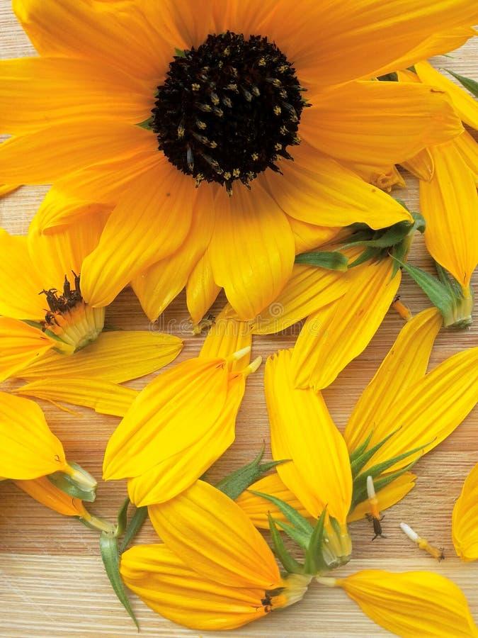 向日葵和它的瓣 免版税库存图片