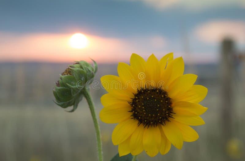 向日葵和芽有篱芭岗位和日出的在背景中 免版税库存照片