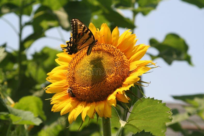 向日葵在一个晴朗的夏日主持传粉者 图库摄影