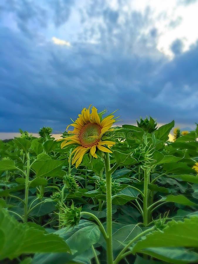 向日葵在与云彩的蓝天下 图库摄影