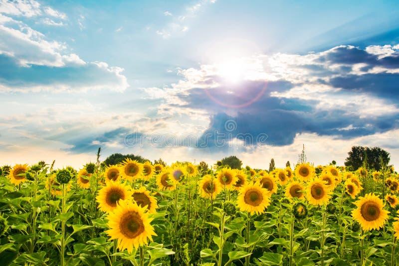 向日葵在与太阳光芒的多云天空下