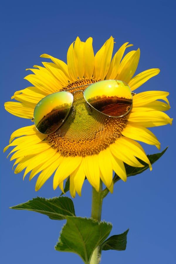 向日葵在冬天 图库摄影