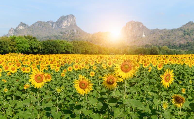向日葵在华富里调遣有日出的农场 库存照片