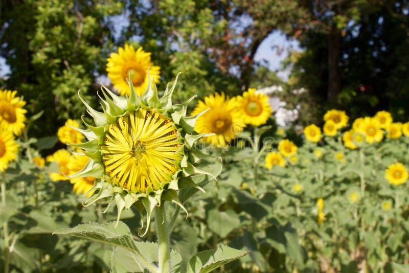 向日葵在成人植物前在晴天 库存照片