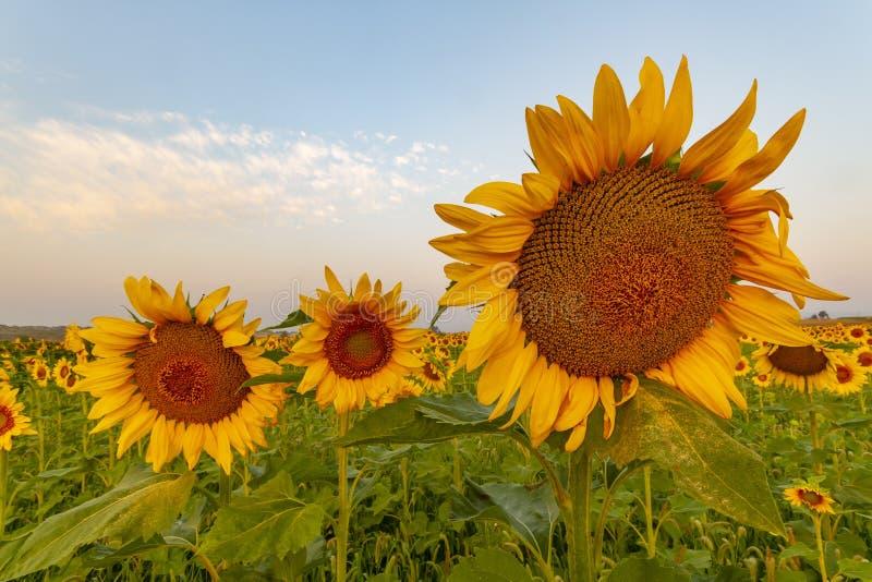 向日葵在与花粉的早晨阳光下在叶子