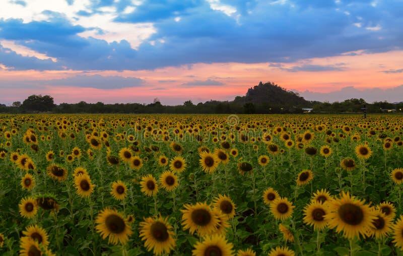 向日葵在晚上调遣农场在华富里 免版税库存图片