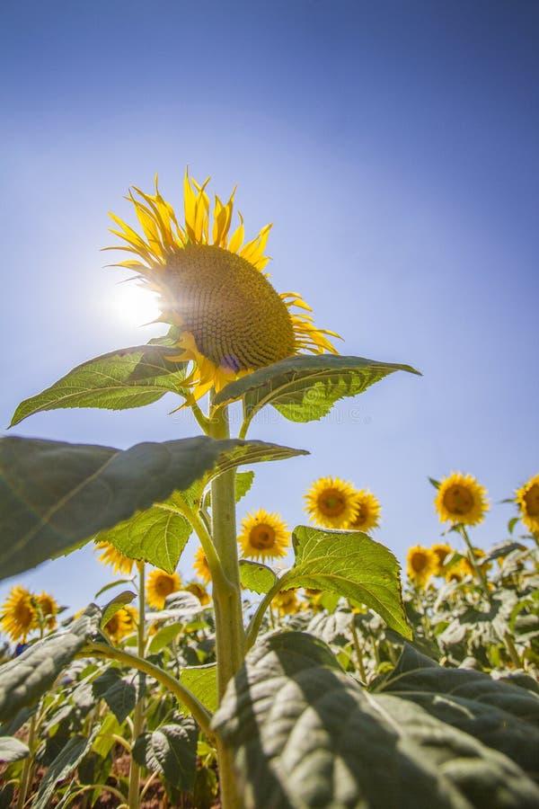 向日葵在普罗旺斯 库存图片
