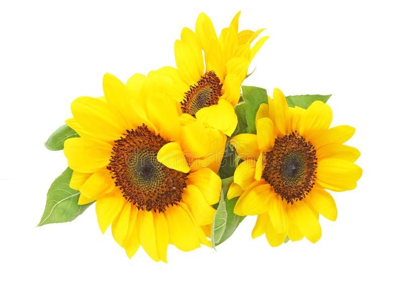 向日葵在白色背景中 图库摄影