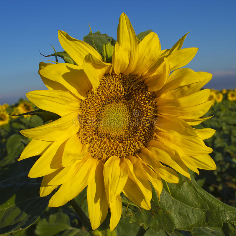 向日葵在科罗拉多 免版税库存图片