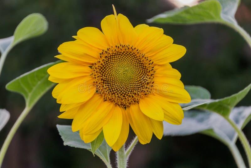 向日葵在背景的特写镜头叶子 免版税库存照片
