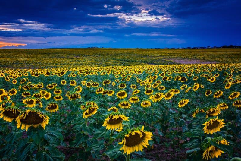 向日葵在蓝色小时 库存图片