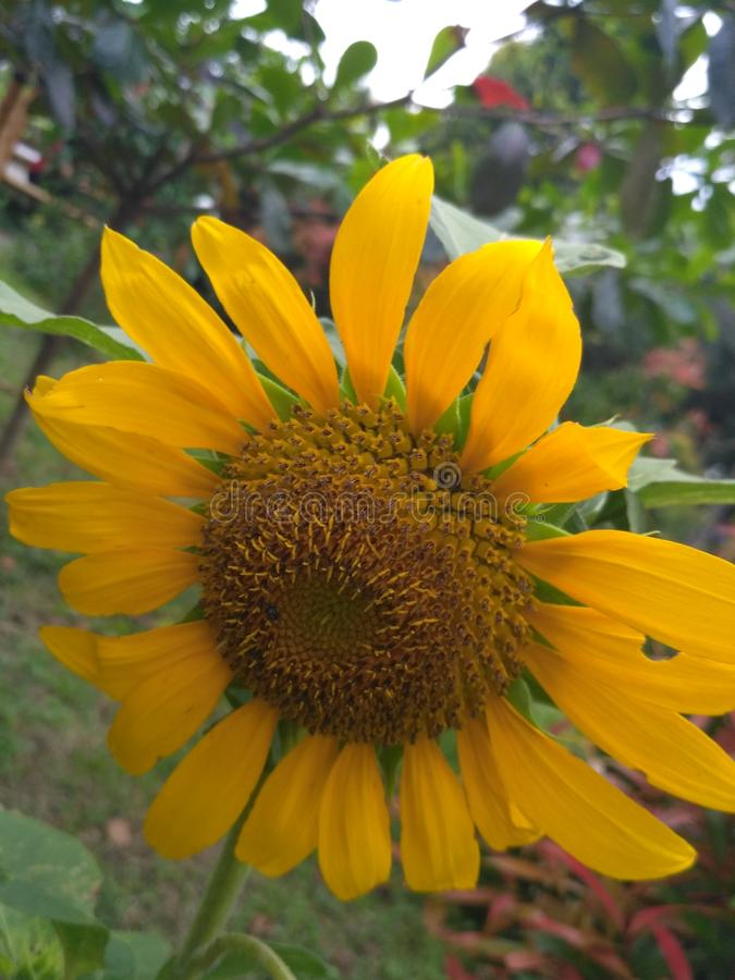 向日葵在阳光下 库存照片