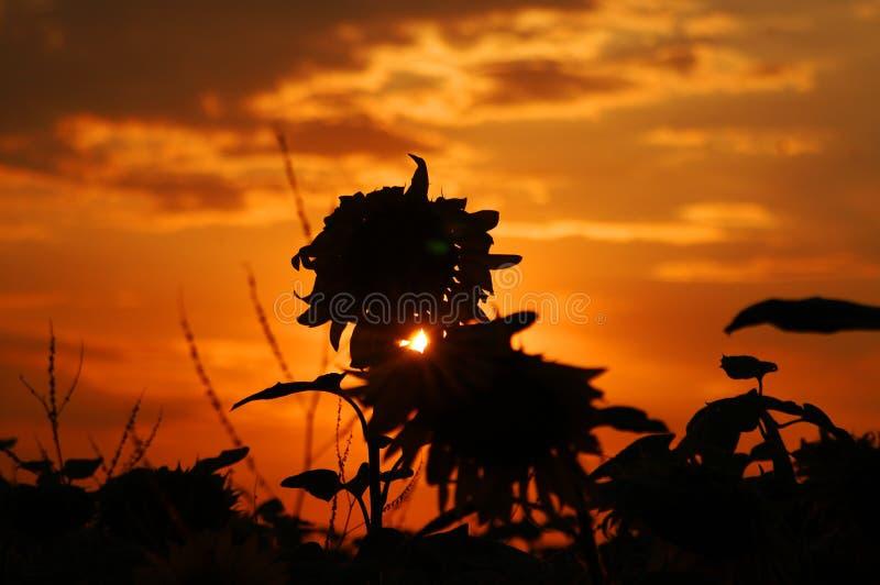 向日葵在黎明,剪影 库存图片