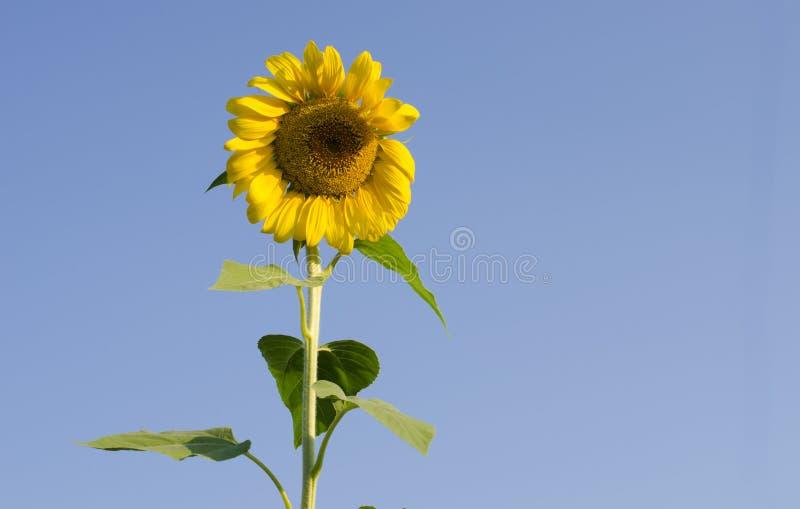 向日葵天空自然照片 免版税库存照片