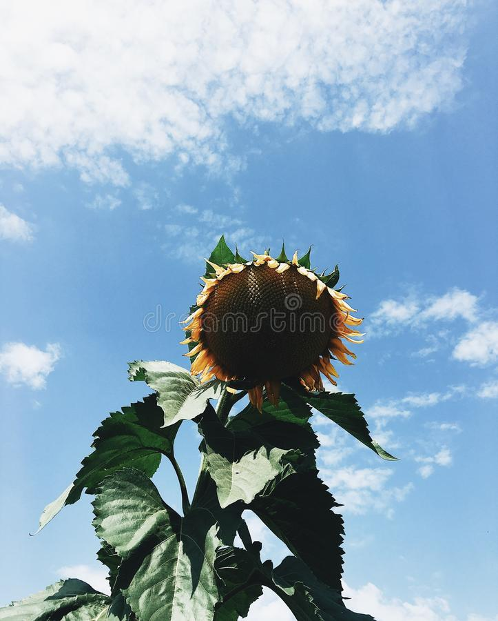 向日葵天空 库存图片