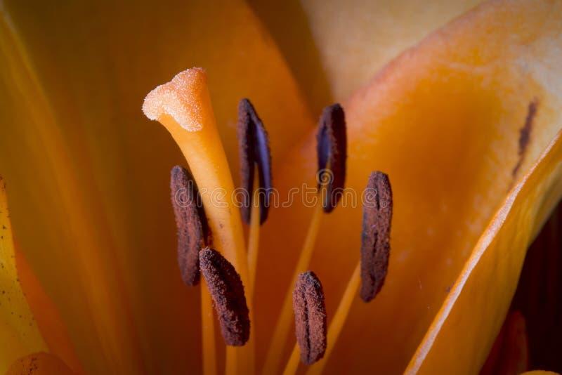 向日葵宏观细节,在夏天庭院里 橙色百合,婚姻的花宏观细节  免版税图库摄影