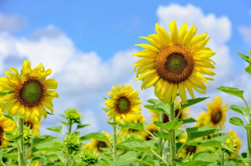Download 向日葵或向日葵在天空背景 库存照片. 图片 包括有 夏天, 泰国, 蓝色, 许多, 云彩, 叶子, 庭院 - 72363198