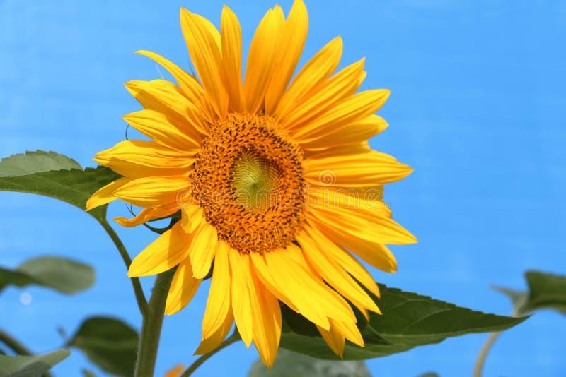 向日葵有蓝色背景 库存图片
